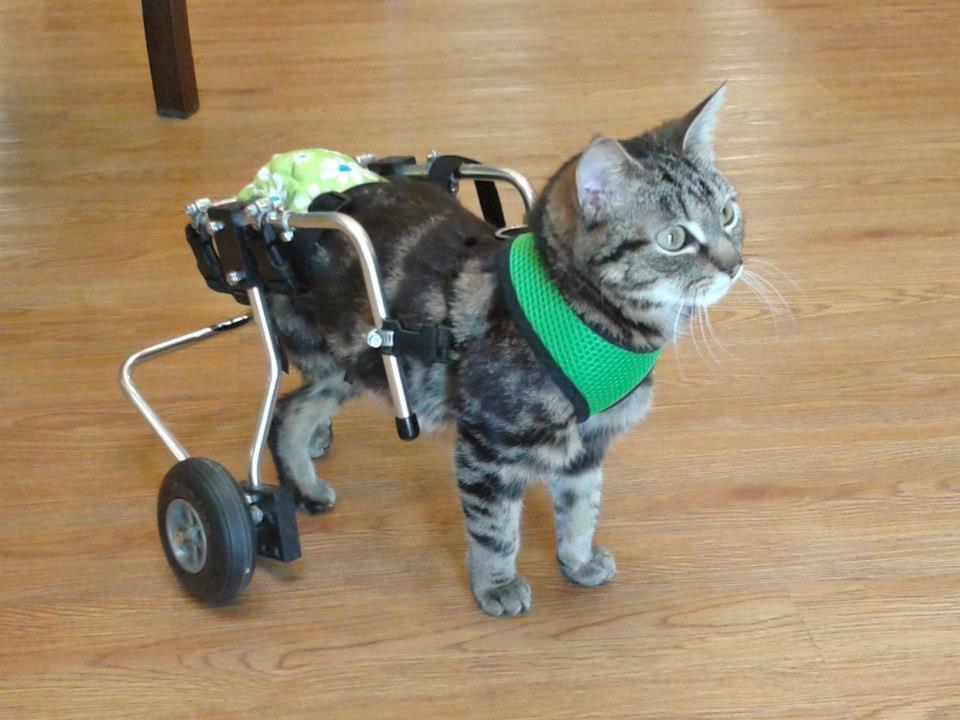 Lottle Dot - kitten with Spina Bifida